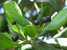 Pimenta dioica (Alspice) also called Jamaica pepper
