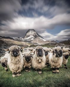 """The majesty of the Matterhorn pales in comparison to the cuteness of these Valais blacknose sheep. """"When I saw this herd of sheep and well-known Matterhorn in the background, I imagined exactly this picture in my mind,"""" says Iryna Raichuk (@iryna_raichuk). """"I just didn't know how to make them still,"""" says Iryna, who lives in Zurich. An unfortunate misstep while trying to get the shot did just the trick. """"I knocked over a stone and fell down with my heavy backpack. At that moment, I was…"""
