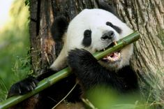 Global Gallery 'Young Panda Learning To Eat Bamboo, Wolong Nature Reserve, China' Framed Photographic Print Size: Panda Bebe, Cute Panda, Panda Panda, Panda Food, Panda Funny, Panda Facts, Magical Creatures, Beautiful Creatures, Nature Reserve