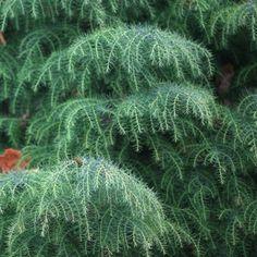 trees view all evergreen trees ornamental conifers view all trees . Conifer Trees, Evergreen Shrubs, Garden Trees, Garden Plants, Lake Garden, Vegetable Garden, Indoor Bonsai Tree, Specimen Trees, Plant Identification