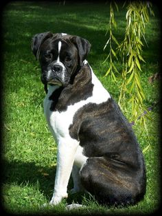 brindle boxer puppies for sale | Cute Puppies