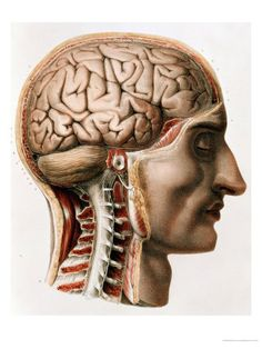 The skull, neck and cervical spine divided in sagital section to show the brain, spinal cord, spinal nerves and external acoustic meatus. By Nicolas Henri Jacob from 'Traité complet de l'anatomie de l'homme' by Marc Jean Bourgery, Brain Anatomy, Medical Anatomy, Human Anatomy, Anatomy Drawing, Anatomy Art, Antique Illustration, Illustration Art, Illustrations Médicales, Medical Illustrations