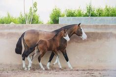 PRE mare and filly Zahara GT and Zaha GT of Yeguada Sierra de la Espada, a rare Andalusian Splash White. All The Pretty Horses, Beautiful Horses, Animals Beautiful, Horse Photos, Horse Pictures, Zebras, Clydesdale, Baby Horses, Majestic Horse