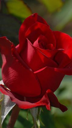 "Rose for Rose ,my princess, my babe girl who I love wit my life. Keep the faith an don't have no worries.. Loving""Yu..."