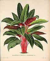 146648 Codiaeum variegatum (L.) Rumph. ex A.Juss. [as Codiaeum elegantissimum W.Bull] / L' Illustration horticole, vol. 29: t. 469 (1882)