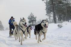 Husky racing Aviemore by Aaron Sneddon - Arden Grange Siberian Husky Club 2010 racing Malamute Husky, Husky Puppy, Healthiest Dog Breeds, Wolf Husky, Cat Harness, Loyal Dogs, Snow Dogs, Cute Animal Pictures, Working Dogs
