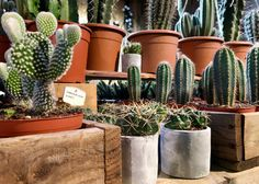 Lovely little cacti, looking fantastic in these concrete planters. If you are not so green fingered these happy chaps will be a perfect addition to your home. They are very easy to care for, requiring little attention.  If you have any queries, pop in store; one of our team will be happy to help. #N1GardenCentre #Islington #Lifenhancing #interiordesign #hackney #debeauvoir #houseplants #cacti #succulent