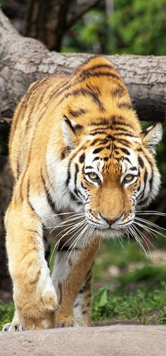 Picture of a Siberian tiger. feline Picture of a Siberian tiger Zoo Animals, Animals And Pets, Wild Animals, Cute Funny Animals, Cute Baby Animals, Beautiful Cats, Animals Beautiful, Big Cats, Cats And Kittens