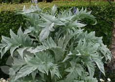 Cardoon - Cynara cardunculus - related to artichoke, stems are edible like celery. A fabulous architectural plant