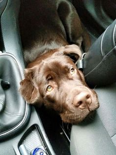 """Figure out even more info on """"chocolate Labrador"""". Have a look at our website. Labrador Retriever, Golden Retriever, Retriever Puppies, Labrador Dogs, Chocolate Lab Puppies, Chocolate Labs, Cute Baby Animals, Animals And Pets, Pet Dogs"""