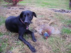 Sadie the black lab/german shorthaired pointer with her very first pheasant.