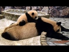 panda baby on her Mom - CUTE VIDEO! It's very important that you watch it until the end.