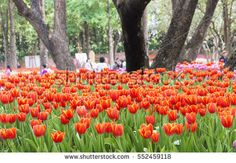 red tulips in the park. soft-focus in the background. over light