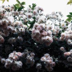 いいね!2,476件、コメント92件 ― Mai Yanagisawaさん(@toile_blanche)のInstagramアカウント: 「Happy Sunday! Beautiful roses wet with rain ☔️ 〆 昨日の朝の雨上がり。曇り空の中でしっとりと濡れた蔓バラがきれいでした。」
