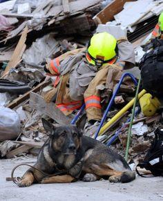 地震による津波で大きな被害を受けた岩手県大船渡市で、がれきの中で待機する災害救助犬(2011年03月15日) 【AFP=時事】