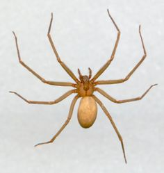 Scary, scary: Brown recluse, also called Fiddleback spider or Violin spider.
