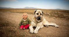 Special Turkish breed Sivas Kangal (Anatolian Shepherd) Dog: