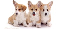 In this short article I offer you three websites where you can find Corgis available for adoption. Article here: http://ilovecorgidogs.com/find-where-to-adopt-a-corgi/
