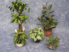 "Corn Plant - Rubber Tree -Peace Lily - Hosta ""June"" - Bunny Ears Cactus"
