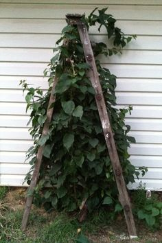Old ladder as a trellis  *1.00 GS