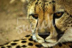 Cheetah Animal Photography, Cheetah, Lion, Pets, Animals, Leo, Animales, Nature Photography, Animaux