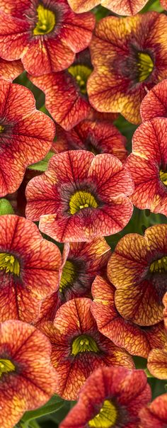 Superbells Spicy holds hints of yellow in these terracotta toned blooms. Perfect in a window box or hanging basket, and easy plant to mix with darker colors too.