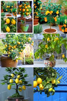 [Visit to Buy] 100pcs lemon tree seeds mini bonsai fruit lemon Exotic Citrus Bonsai Lemon Tree seeds fruit and vegetable seeds for home garden #Advertisement