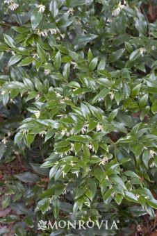 Sarcocca: Full shade. Great for north side of sunroom. Needs regular watering. Slow grower to 3-5 feet tall/wide. Fragrant blooms in early spring. Prune after flowering.
