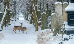 Talk a winter walk in the snowy Central Cemetery in Vienna, Austria and discover the nature and animals there #feelaustria