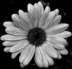 black and white gerber daisy