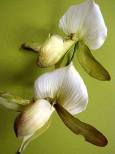 Breathtaking Slipper Orchids by Sugar Art Studio} Edible Flowers, Real Flowers, Silk Flowers, Paper Flowers, David Austin, Austin Rosen, Ornamental Kale, Sugar Paste Flowers, Petal Dust