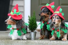 Christmas Elves Show us your doggie holiday pics! Post them to our Facebook page https://www.facebook.com/Davidshomesite