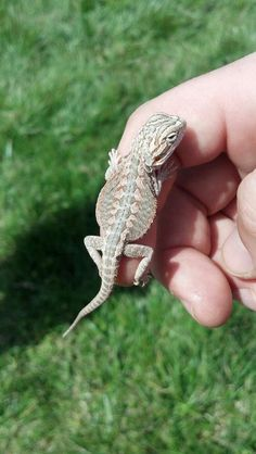 2 week old Bearded Dragon ❤