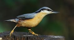 Nuthatch - Upton Country Park Dorset - 141216 (1) by ailognom2005