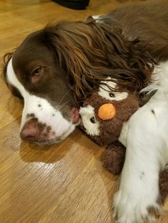 Tired springer sleeping with his toy owl