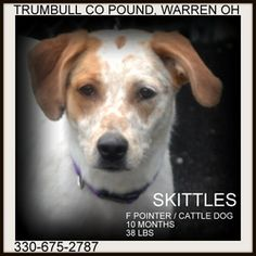 Skittles IN PRISON TRAINING PROGRAM is an adoptable Pointer Dog in Warren, OH. Skittles is a gorgeous little girl! She is about 10 months old so may get a little bigger, and weighs only 38 lbs. avai...Trumbull County Dog Kennel, Warren, OH 330-675-2787