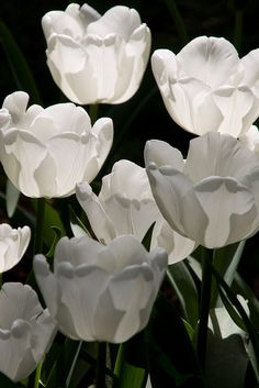White Tulips, Keukenhof Gardens, Lisse, Netherlands.  Wow!  I haven't ever seen white tulips before.  This makes me think of some of the beautiful flowers that we will see in heaven someday!  Lovely!