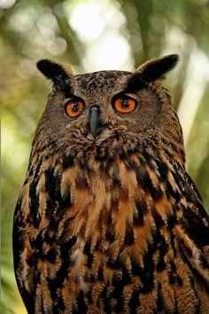 European Eagle Owl (Eurotrash Owl)
