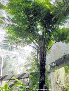 Cyathea cooperi, Sphaeropteris cooperi, Australian Tree fern ...