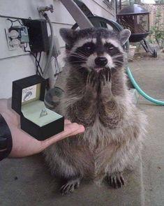Cute Little Animals, Cute Funny Animals, Cute Cats, Cute Raccoon, Racoon, Baby Raccoon, Animal Jokes, Funny Animal Memes, Cute Animal Photos