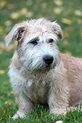 Kennel Stiubhard, breeder of Irish Glen of Imaal Terrier | Puppies