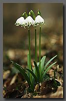 Snowdrops Macro Photography, Gardens, Easter, Joy, Spring, Floral, Flowers, Nature, Plants