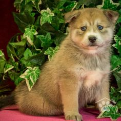 Check out the Pomsky puppies for sale at One Bark Plaza. Our Pomsky breeders are trustworthy and honest, so contact us to meet your Pomsky today. Pomsky Puppies For Sale, Small Puppies, Pomsky Breeders, Puppy Breeds, Friends Forever, Cuddle, Puppy Love, Adoption, Dogs