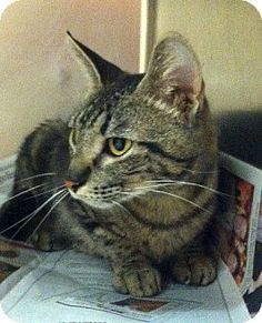 Bauxite, AR - Domestic Mediumhair. Meet Darlene, a cat for adoption. http://www.adoptapet.com/pet/11106790-bauxite-arkansas-cat