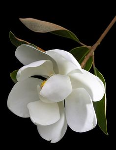 White Flowers ~ Magnolia--the quintessential flower of the South--magnificent trees and heady aroma