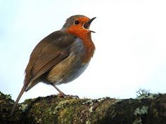 Robin 2, via Flickr.