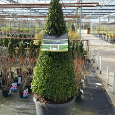 Buxus Pyramid. Top Quality