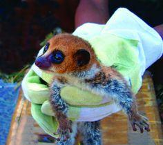 The Lavasoa dwarf lemur (Cheirogaleus lavasoensis), a newly described species of dwarf lemur from southern Madagascar.