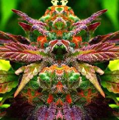 Beautiful Dragon (Dogon) Kush  Nice! Real medicine , thats what we are all about as well #leafedin.org