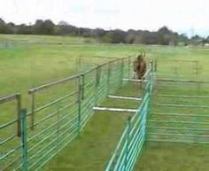 This is Oscar, trained using operant conditioning methods, jumping his hurdles. Doubtless he would jump as many as were erected! Operant Conditioning, Hurdles, Olympics, Training, Animals, Animaux, Animal, Work Out, Education